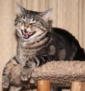 smirking tabby cat